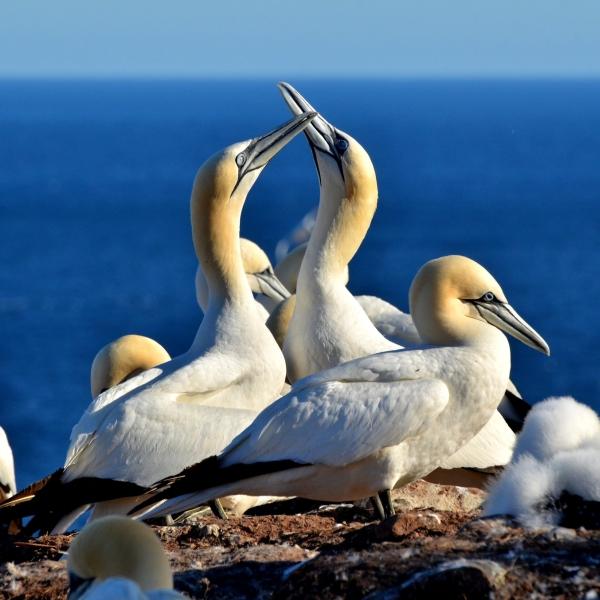Oiseaux marins du Québec